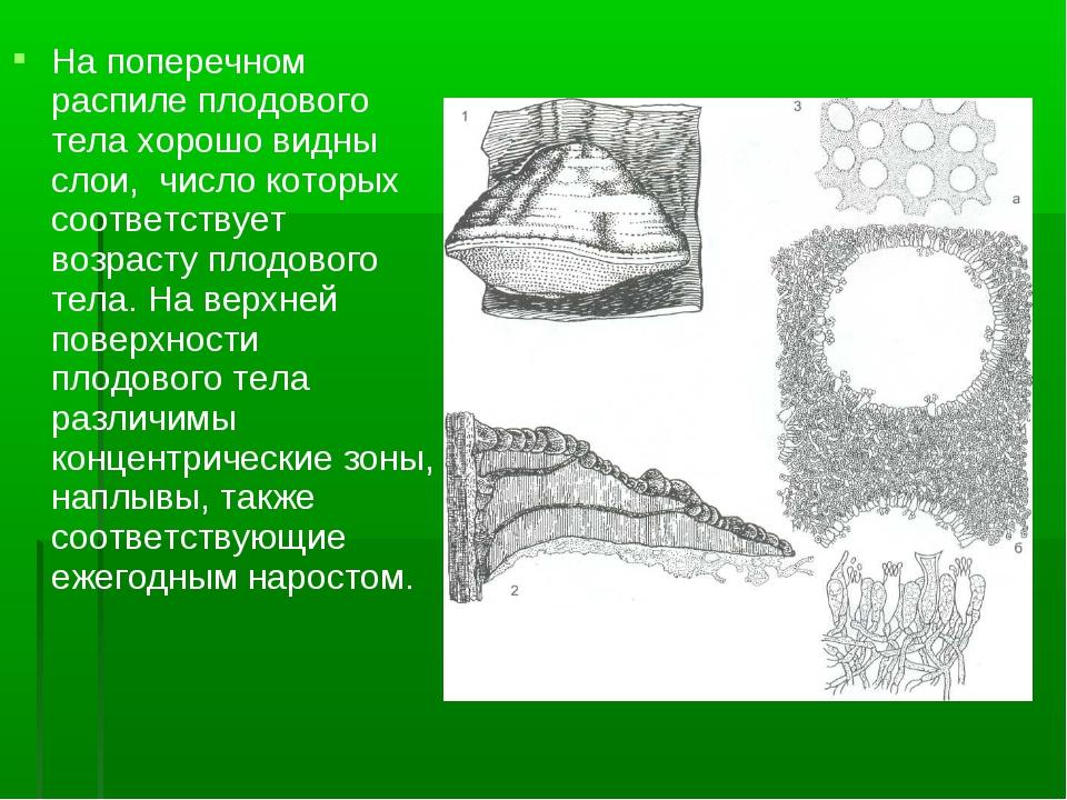 На поперечном распиле плодового тела хорошо видны слои, число которых соответ...