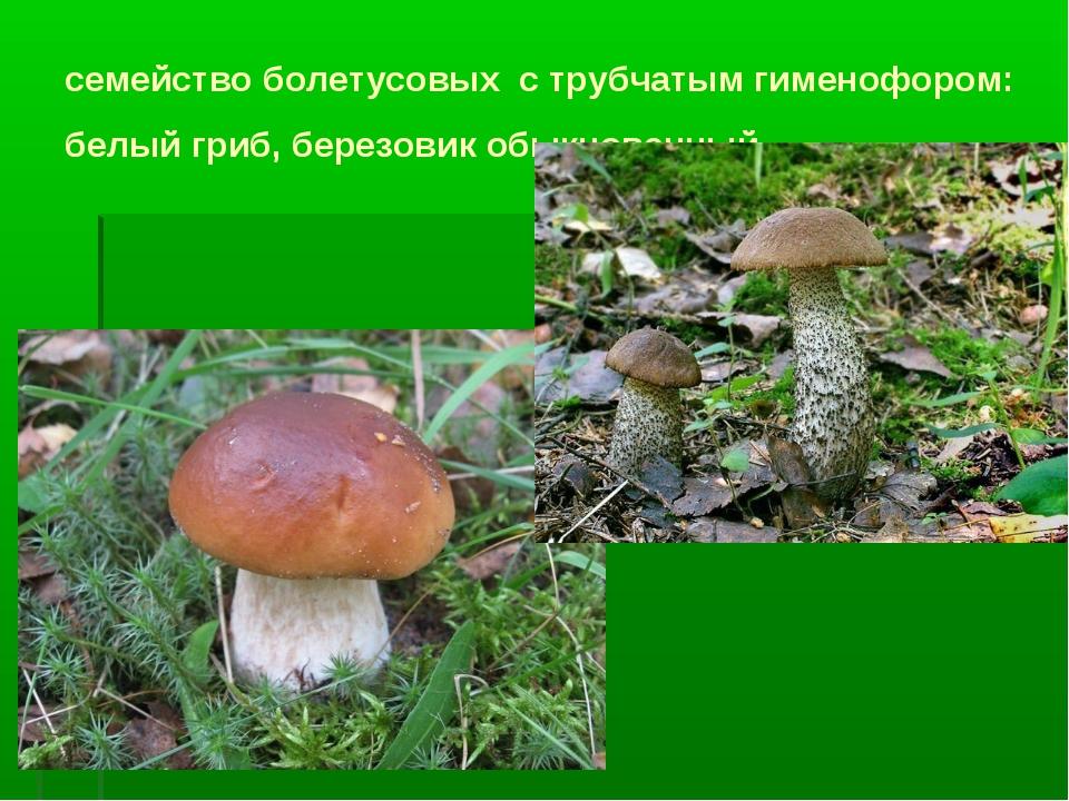 семейство болетусовых с трубчатым гименофором: белый гриб, березовик обыкнове...