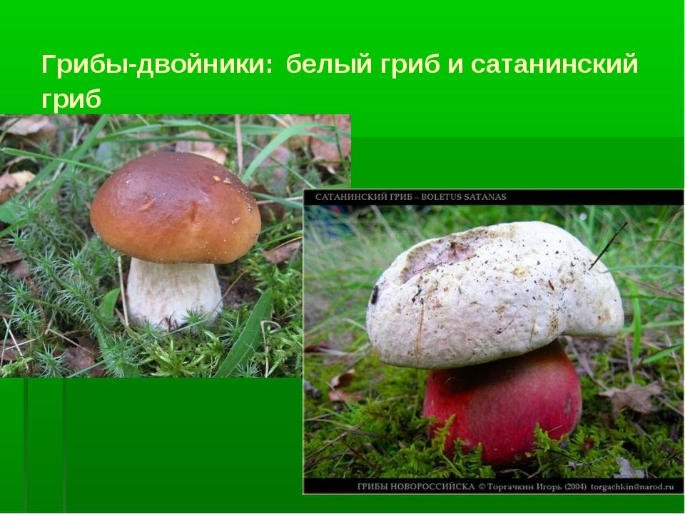 Грибы-двойники: белый гриб и сатанинский гриб