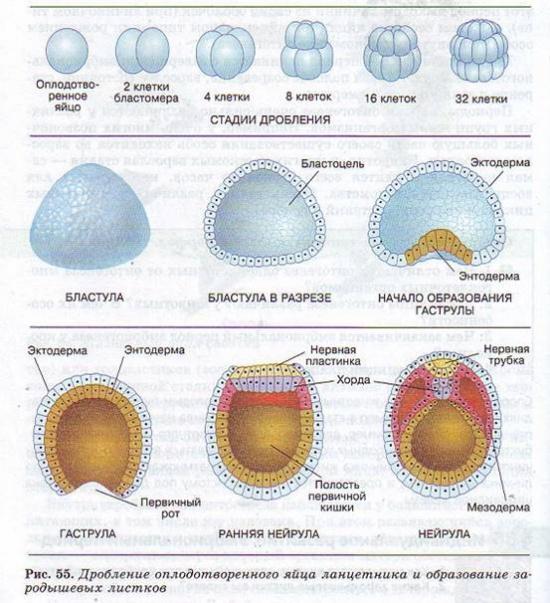Эмбриональный период - Гипермаркет знаний