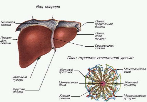 Печень анатомия человека презентация