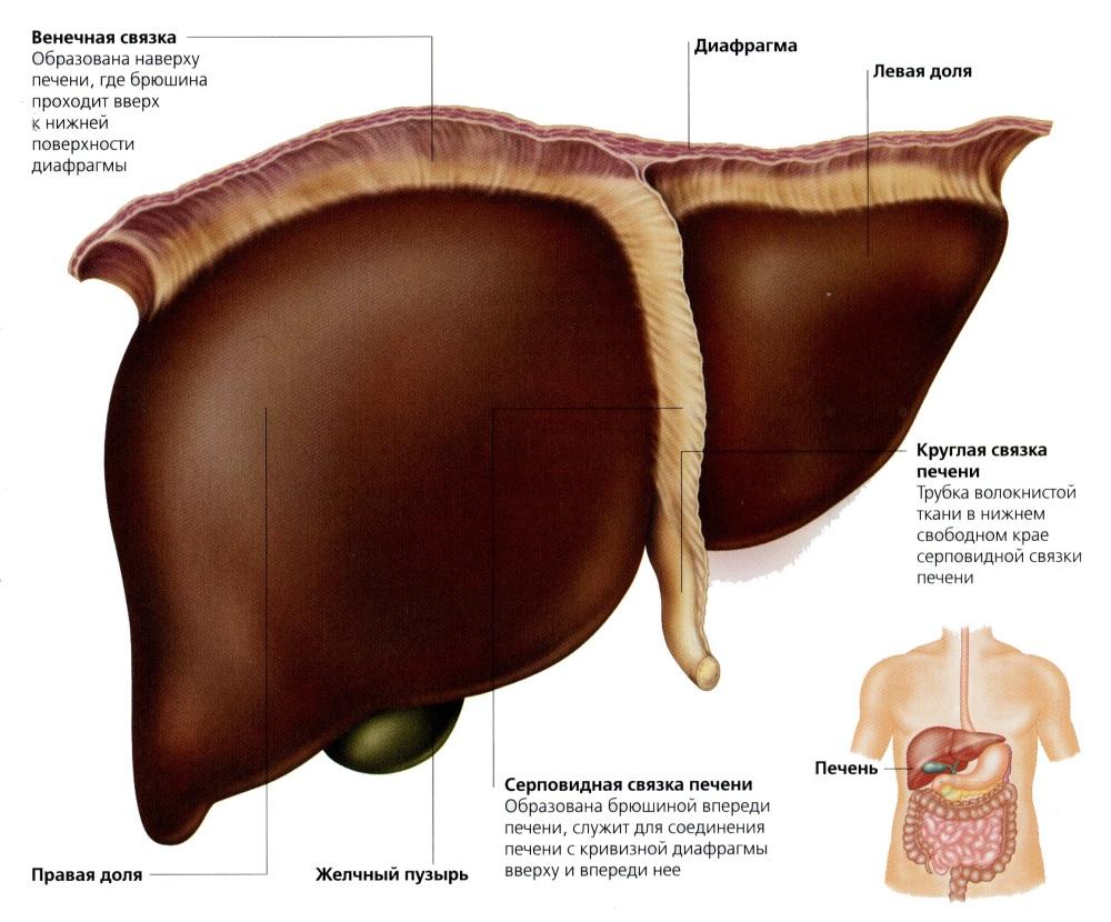 Печень. . Брюшная полость. . Анатомия человека