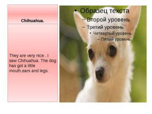 Chihuahua. They are very nice . I saw Chihuahua. The dog has got a little mou