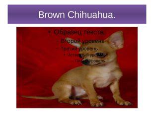 Brown Chihuahua.
