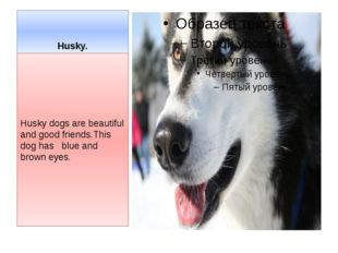Husky. Husky dogs are beautiful and good friends.This dog has blue and brown