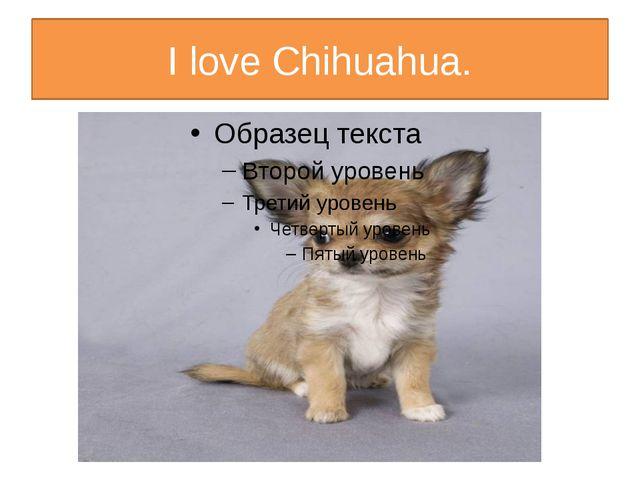 I love Chihuahua.