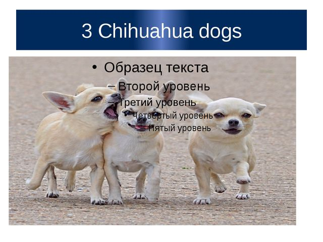 3 Chihuahua dogs