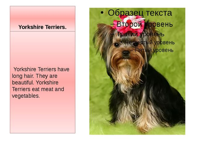 Yorkshire Terriers. Yorkshire Terriers have long hair. They are beautiful. Yo...