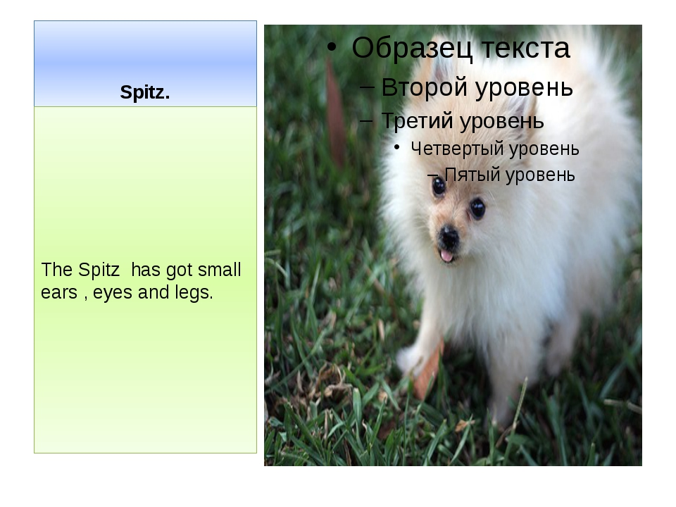 Spitz. The Spitz has got small ears , eyes and legs.
