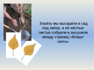 Берёзу мы высадили в сад, под забор, а её жёлтые листья собрали и засушили ме