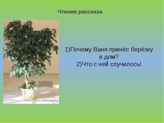 1)Почему Ваня принёс берёзку в дом? 2)Что с ней случилось!