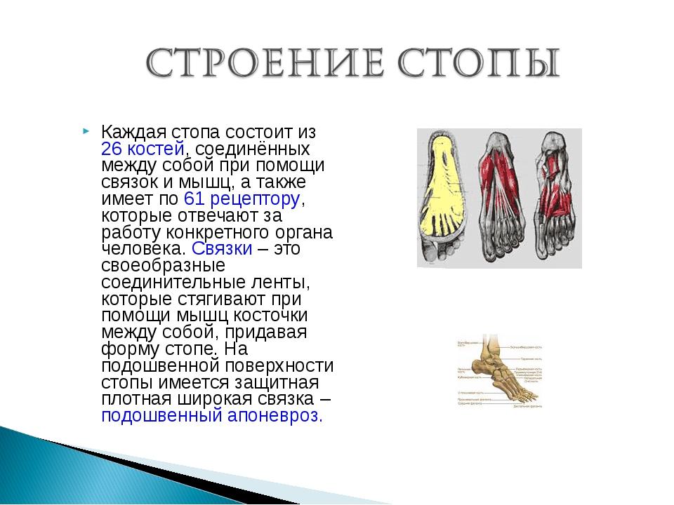 Каждая стопа состоит из 26 костей, соединённых между собой при помощи связок...