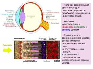 Человек воспринимает свет с помощью цветовых рецепторов (колбочек), находящи