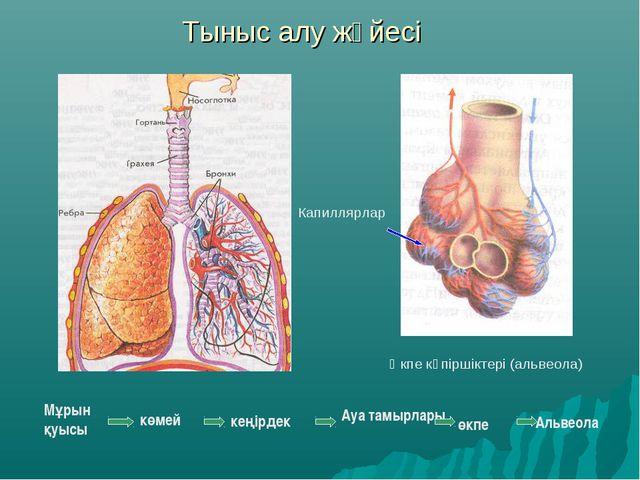 Тыныс алу жүйесі кеңірдек Өкпе көпіршіктері (альвеола) Капиллярлар Мұрын қуыс...