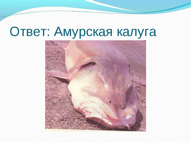 Ответ: Амурская калуга