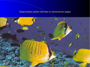 Коралловые рыбки обитают в тропических водах