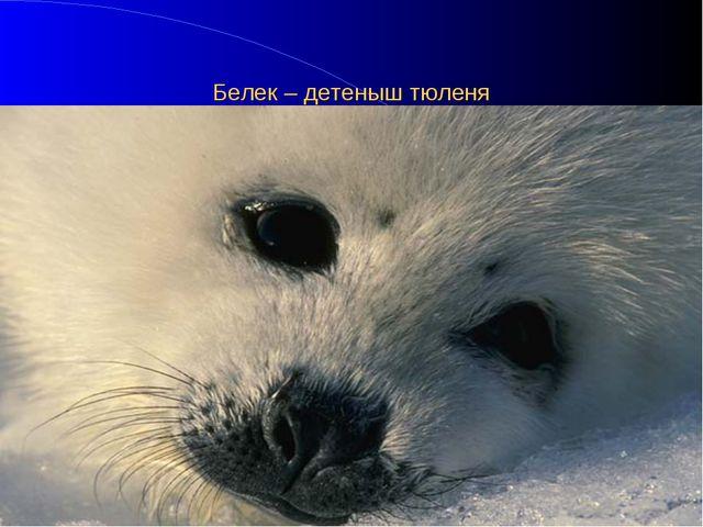 Белек – детеныш тюленя