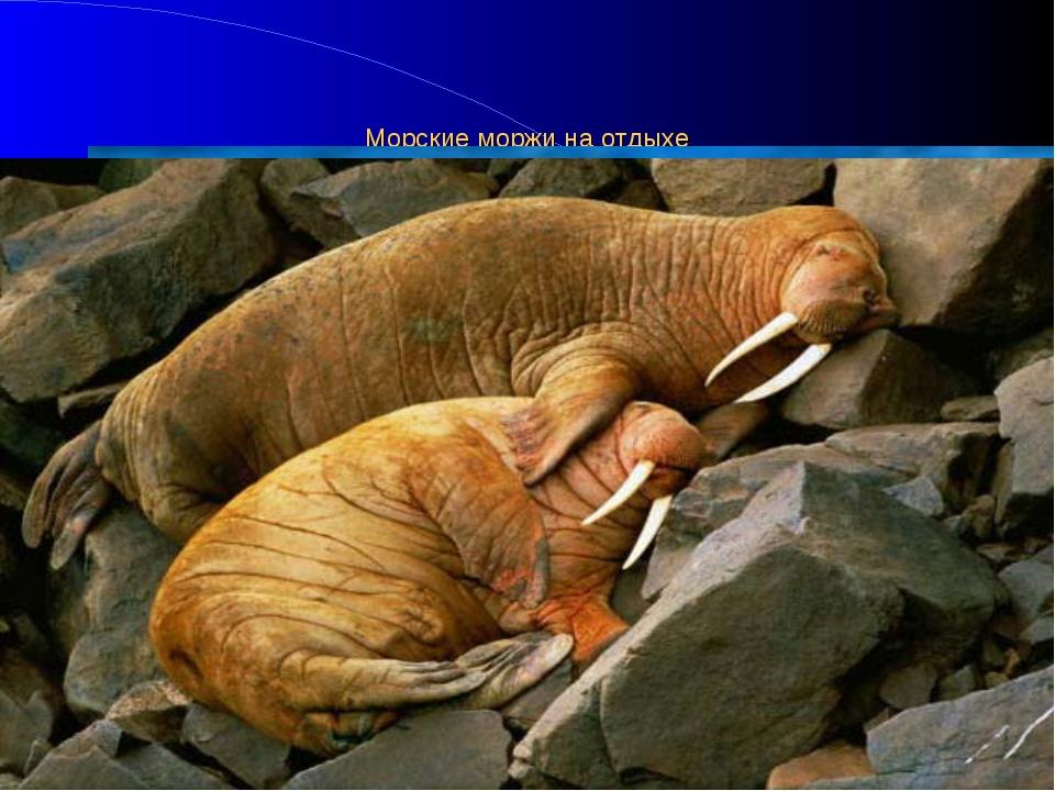 Морские моржи на отдыхе