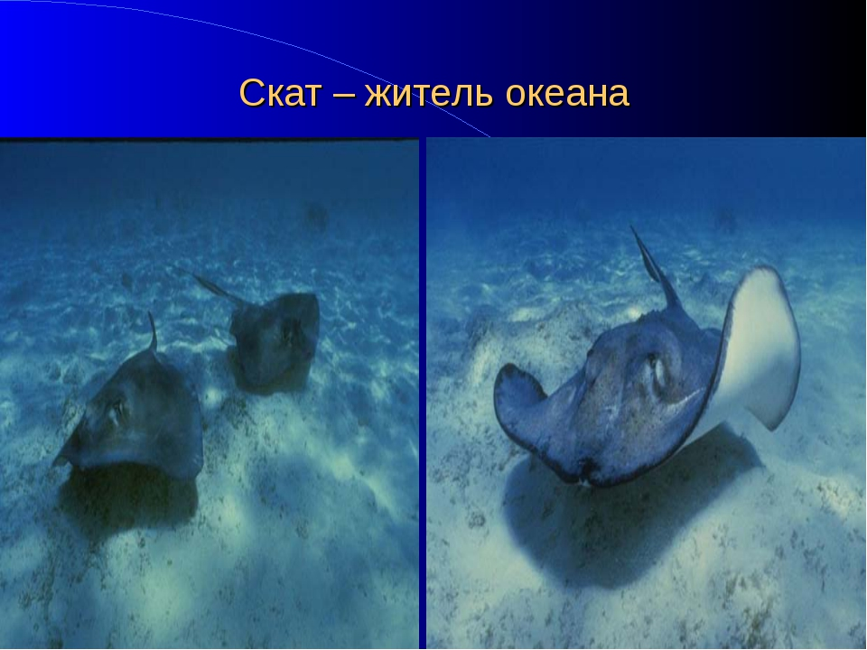 Скат – житель океана