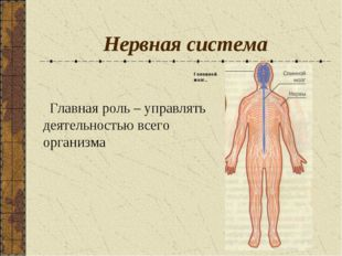 Нервная система Главная роль – управлять деятельностью всего организма Головн