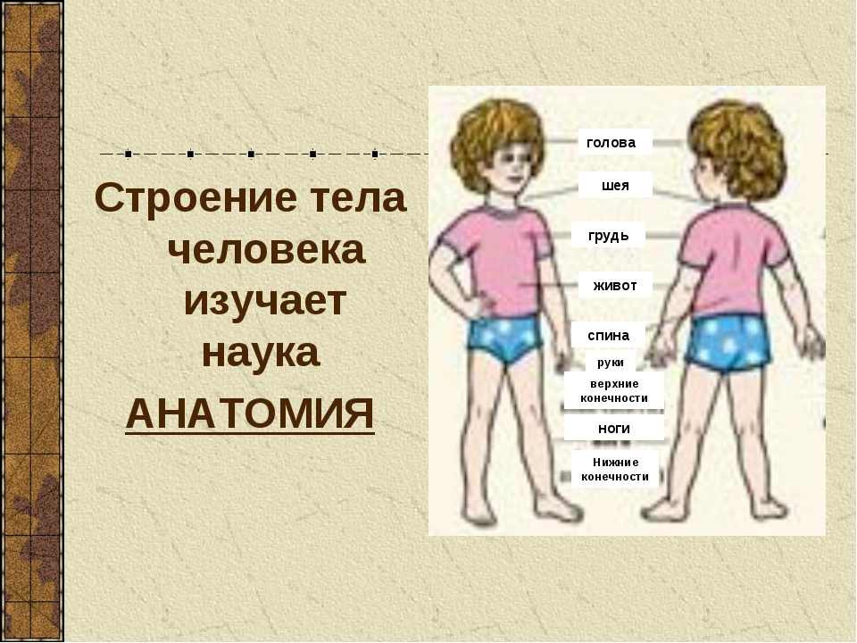 Строение тела человека изучает наука АНАТОМИЯ голова шея грудь живот спина ру...