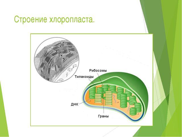 Строение хлоропласта.