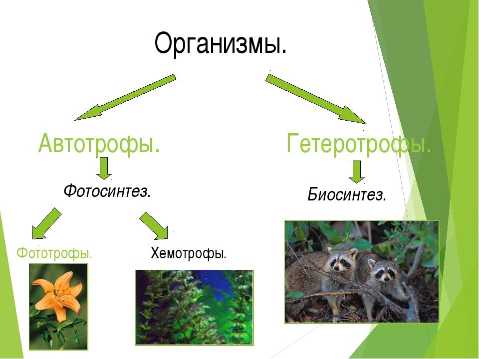 Организмы. Автотрофы. Гетеротрофы. Биосинтез. Фотосинтез. Фототрофы. Хемотрофы.