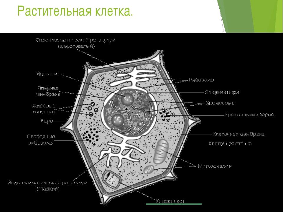 Растительная клетка.