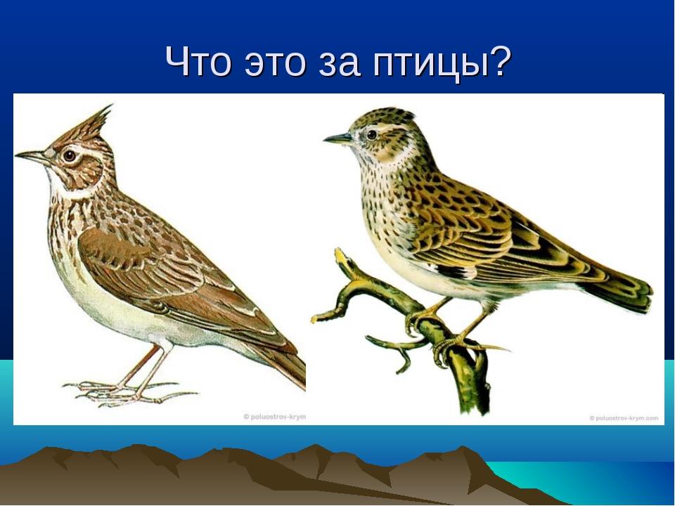 Что это за птицы?