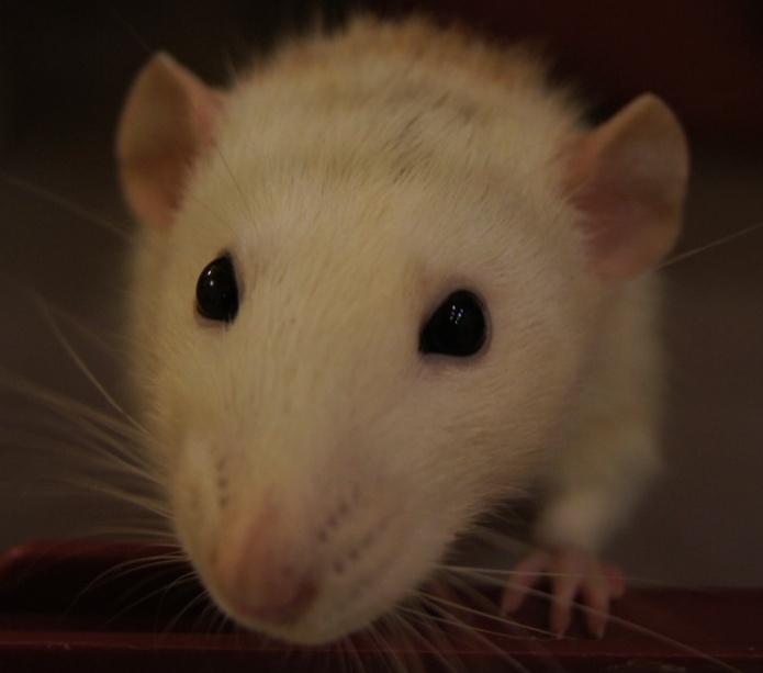 C:\arhiv\ЦЗЛ общая\doc1\Нов\Тн\конкурс\Конференции\Мой домашний друг - крыса\фото\_DSC5330.JPG