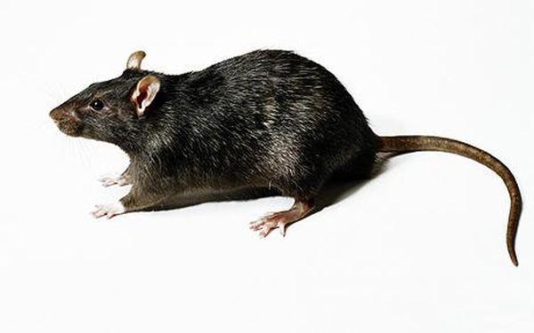 Николаев страдает от атаки крыс: грызуны повсюду - Рамблер-Новости