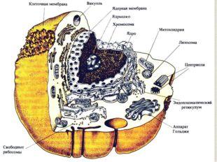 Клеточное ядро является вместилищем практически всей генетической информации