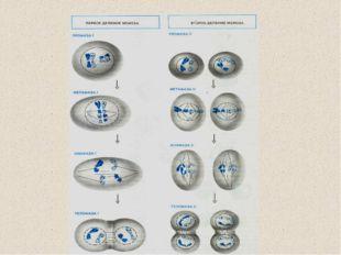 1.Работа в парах: Сравните между собой два способа деления клеток (митоз и ме
