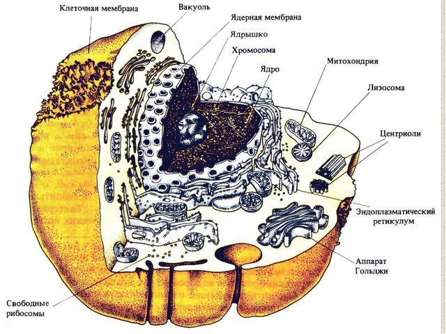 Клеточное ядро является вместилищем практически всей генетической информации...