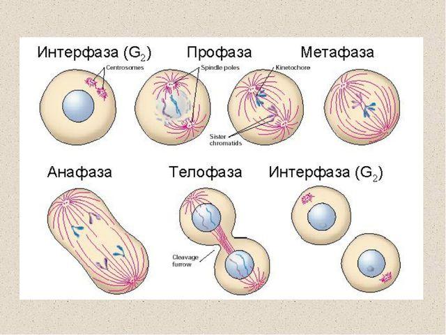 Схема мейоза: 1 — лептонема; 2 — зигонема; 3 — пахинема; 4 — диплонема; 5 — д...