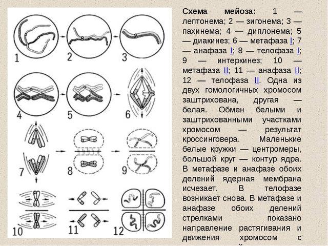 Для чего нужен митоз? Каков набор хромосом получается в клетке в результате д...
