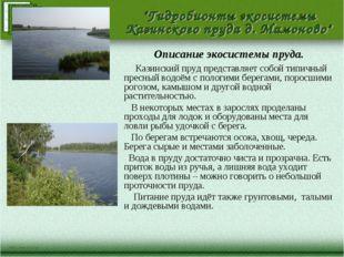 Описание экосистемы пруда. Казинский пруд представляет собой типичный пресный