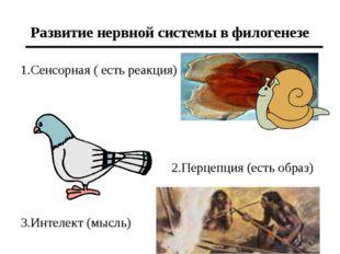 Развитие нервной системы в филогенезе 1.Сенсорная ( есть реакция) 3.Интелект