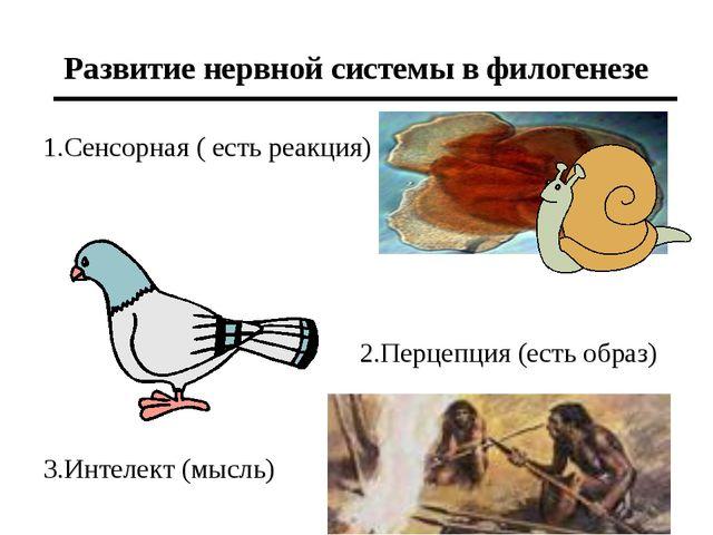 Развитие нервной системы в филогенезе 1.Сенсорная ( есть реакция) 3.Интелект...