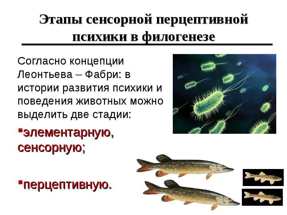 Этапы сенсорной перцептивной психики в филогенезе Согласно концепции Леонтьев...