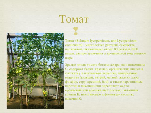 Томат Томат (Solanum lycopersicum, или Lycopersicon esculentum) - многолетнее...