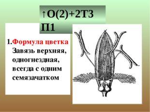 Формула цветка Завязь верхняя, одногнездная, всегда с одним семязачатком ↑О(