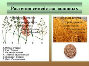 Растения семейства злаковых