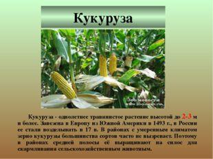 Кукуруза Кукуруза - однолетнее травянистое растение высотой до 2-3 м и более