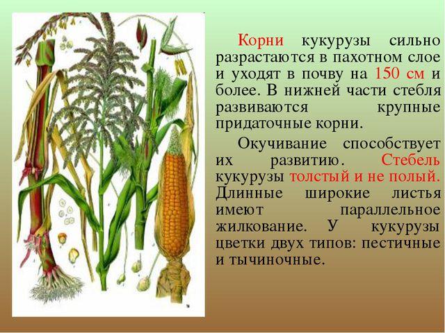 Корни кукурузы сильно разрастаются в пахотном слое и уходят в почву на 150 с...