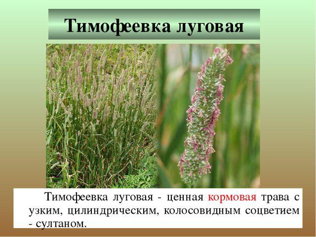 Тимофеевка луговая Тимофеевка луговая - ценная кормовая трава с узким, цилин...