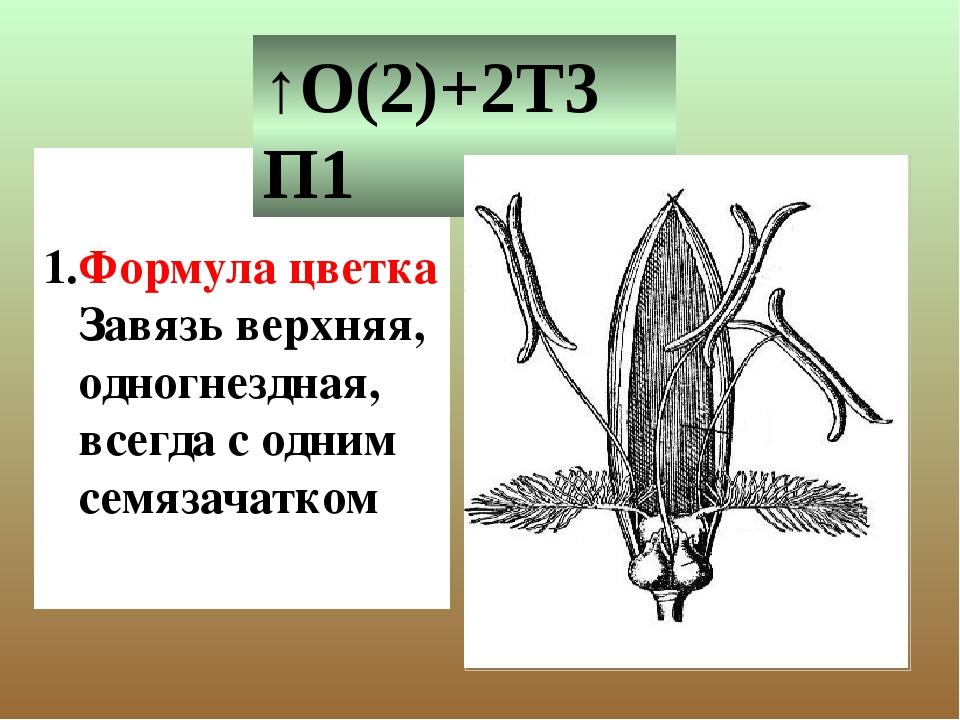 Формула цветка Завязь верхняя, одногнездная, всегда с одним семязачатком ↑О(...