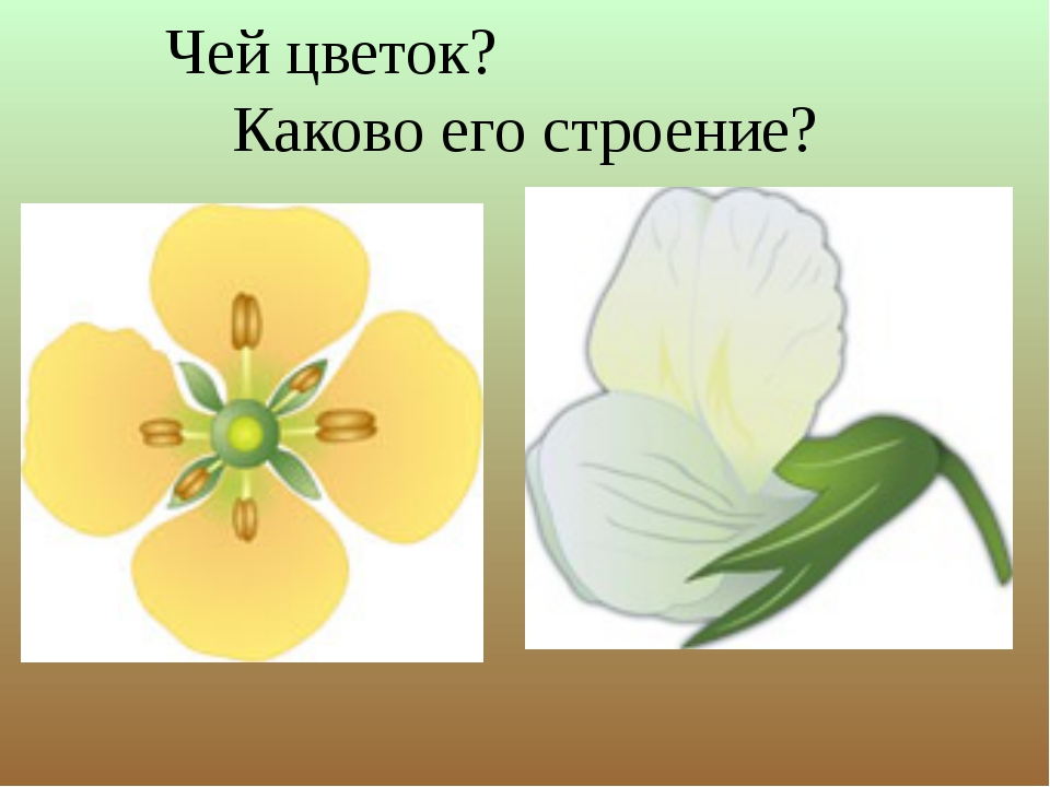 Чей цветок? Каково его строение?