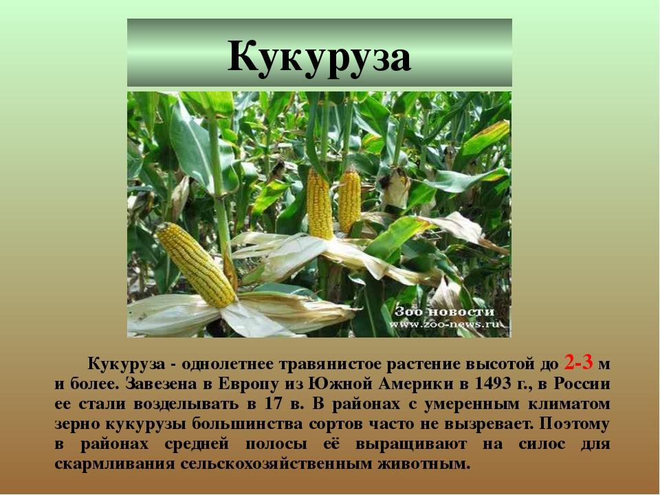 Кукуруза Кукуруза - однолетнее травянистое растение высотой до 2-3 м и более...
