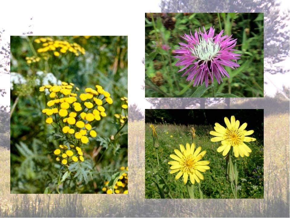 Большинство сложноцветных цветут в середине лета. Поэтому, если в июле выйти...